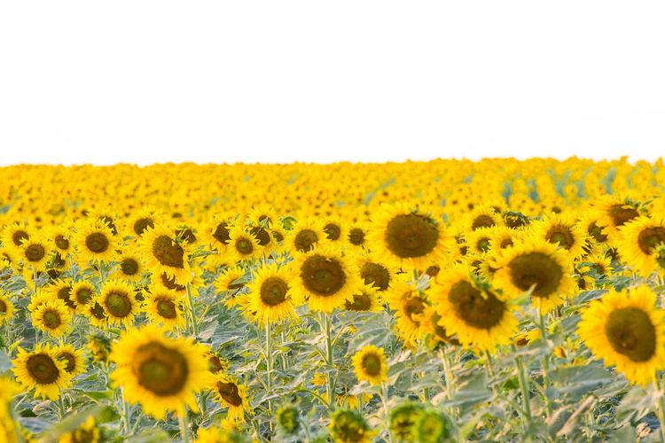 Flower Sunflower In Thailand Sunfow Yellow