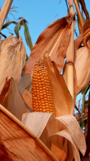 Low angle view of corn