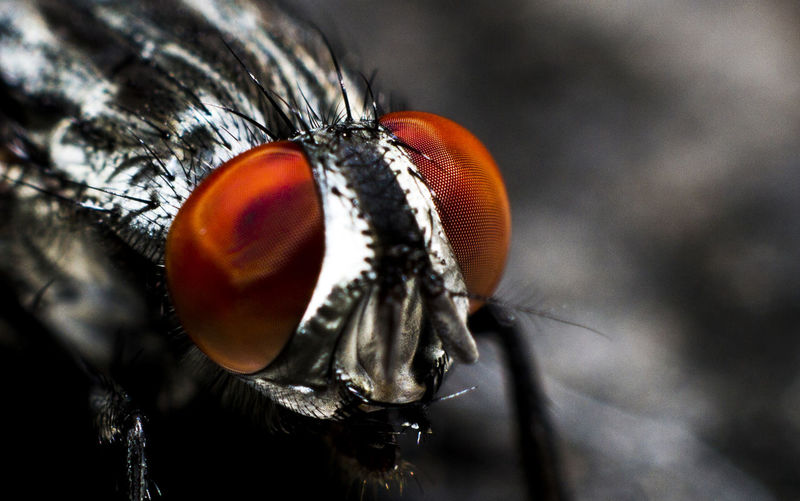 Extreme close-up of fly