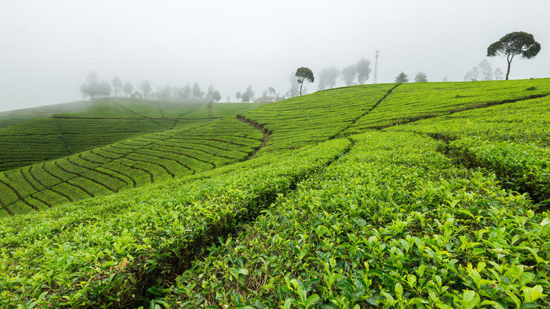 Pasir Malang Tea Plantation, Located in Pangalengan, South Bandung Indonesia Agriculture Bandung Beauty In Nature Day Farm Field Fog Green Color Growth INDONESIA Landscape Nature No People Outdoors Plantation Rice Paddy Rural Scene Scenics Tea Crop Tea Plantation  Tranquil Scene Tranquility Tree