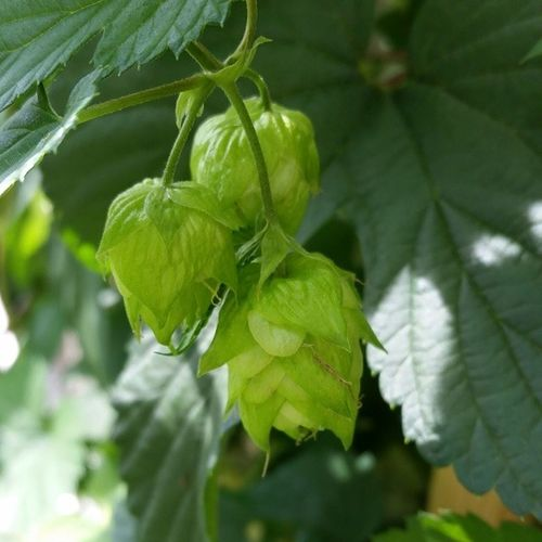 Speaking of IPADay , how 'bout some Centennial Hops ? Hopflower beer craftbeer greenthumb nofilter growyourown