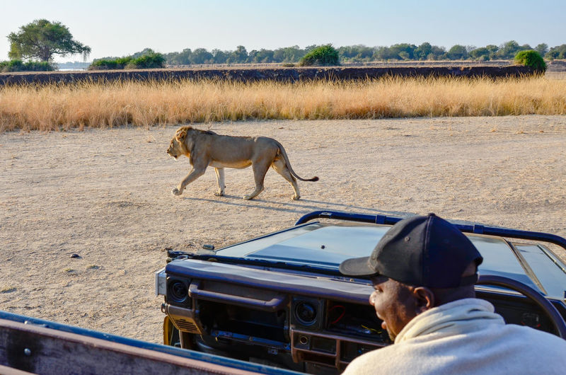Lion walking and marking his territory Carnivore Car Guide Chance Encounters Lion Mammal Outdoors Predator Waiting Wilderness in South Luangwa , Zambia People And Places