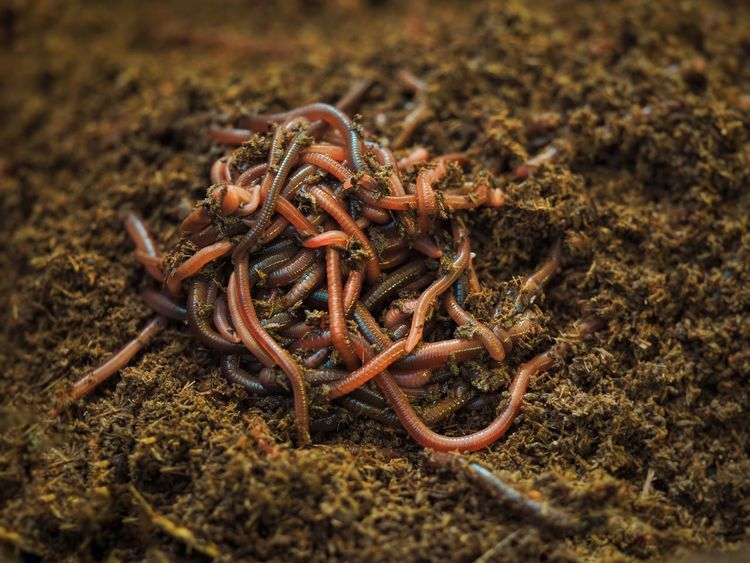 Organic Earthworms Animal Wildlife Animal Themes Animals In The Wild Close-up Animal No People Land Nature Day Selective Focus Invertebrate Plant High Angle View Field Group Of Animals Outdoors Focus On Foreground Beauty In Nature Brown UnderSea
