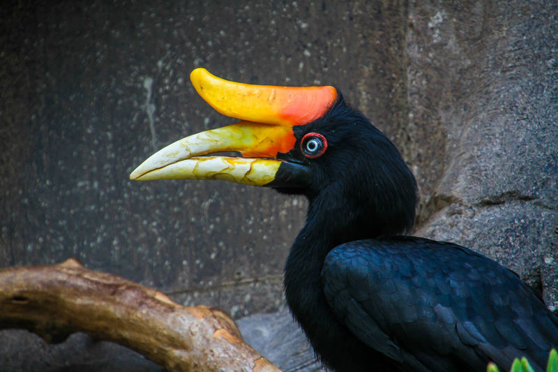 Close-up of hornbill perching on branch against wall