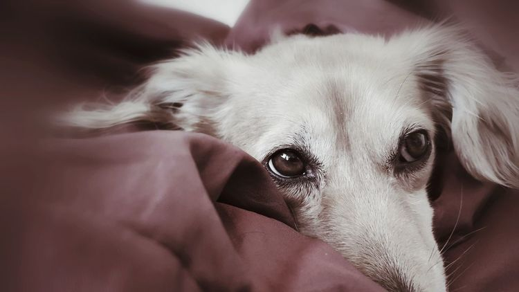 """""""Pillowsophy"""" Animal Animal Themes AntiM Close-up Cute Dackelblick Day Dog Dog In Bed Dog Watching Dogs Of EyeEm Dogs Portrait Domestic Animals Friendship Human Body Part Human Hand Indoors  Mammal One Animal People Pets Pillowsophy Portrait Puppy Young Animal Pet Portraits"""