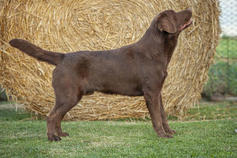 Black dog standing on field