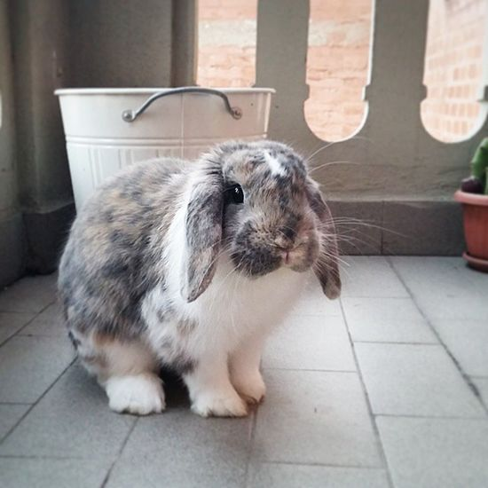 Istabunny Musettodolce Conigliomodello Aries Photooftheday Istagram Beauty Sweet Sweetbunny Funny Istaphoto Picciolo Cucciolo Tagsforlike Nofilter Animals Homesweethome