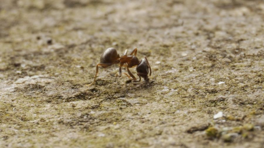 Ant clinging onto life after an attack. 2413 Animal Themes Animal Wildlife Animals In The Wild Ant Ant Photography Beach Blurred Close-up Day Die Dying Insect Insect Macro  Insect Photography Insects Collection Nature No People Northampton One Animal Outdoors Pathway Sand Selective Focus