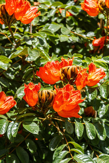 African Tuliptree Spathodea Beauty In Nature Blooming Close-up Day Flower Flower Head Fragility Freshness Green Color Growth Hibiscus Leaf Nature No People Orange Color Outdoors Petal Plant Sunlight