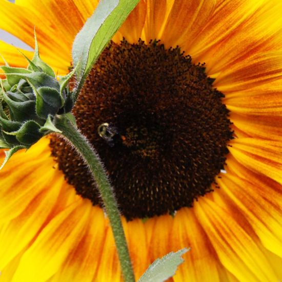 Sunflower Sunflower🌻 Outdoor Photography Close-up Flowers Flowers,Plants & Garden Macro Photography Nature Canada Beauty In Nature Bee Bee On The Flower 🐝 Bee 🐝 Bee Watching Yellow Flower Yellow Green Leaves Bee On Sunflowers Sunflowers🌻 Sunflower Bud Macro Sunflower Macro Nature Macrophotography
