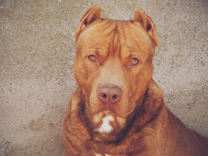 Homero Pitbull Awesome Love Cute Beautiful Strong Puppy Eyes😍💪👍🙈