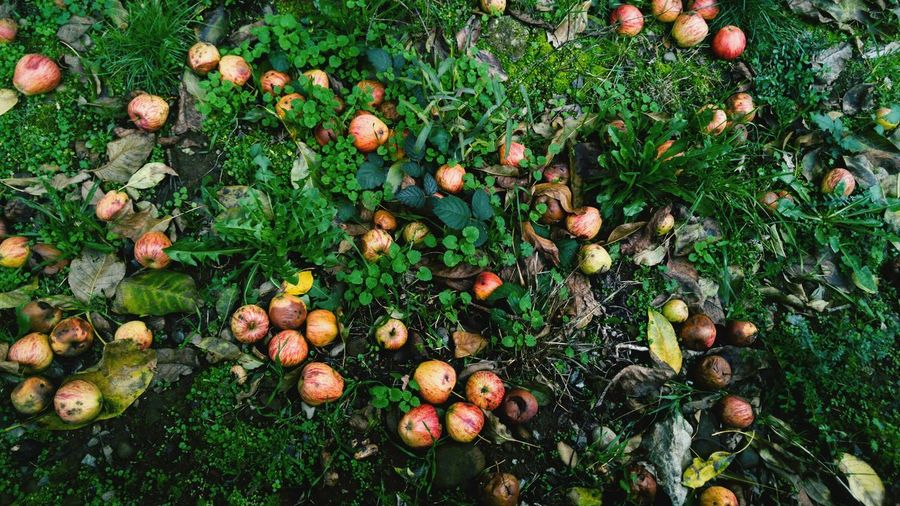 High Angle View Of Apples Growing On Tree