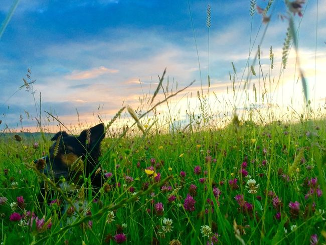 Dog in meadow Dog Beautiful Blue Blue Sky Park Walk Yorkshire Summer Field Animals Pets Beauty In Nature Colorful