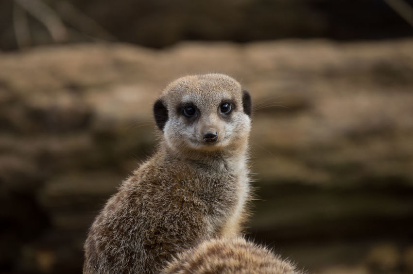 Animal Animal Themes Animal Wildlife Animals Animals In The Wild Close-up Day Focus On Foreground Mammal Meerkat Nature No People One Animal Outdoors Portrait Zoo