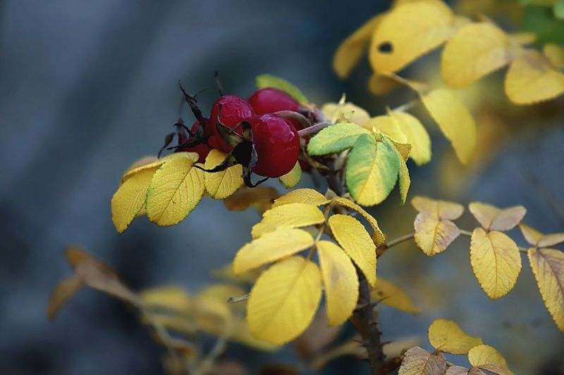 Faded roses. Faded Roses Roses EyeEm Gallery Eyem Best Shots Eyemphotography Plant Close-up Leaf Plant Part Growth Freshness Yellow No People Focus On Foreground Nature Beauty In Nature Flowering Plant Flower Fruit Day Outdoors Food And Drink