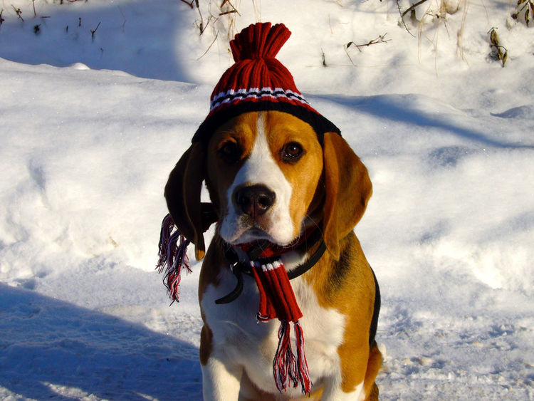 Christmas Moritz Animal Themes Beagle Christmastime Cold Temperature Day Dog Domestic Animals Field Mammal Nature No People One Animal Outdoors Pet Clothing Pets Portrait Sky Snow Weather Winter EyeEm Best Shots EyeEm Nature Lover