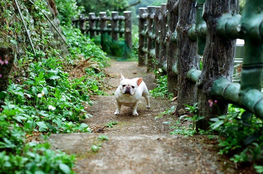Secret Garden Dog Frenchbulldog French Bulldog Dog Love Playing With The Animals 犬 Pets Corner Plants And Flowers Country Road 鐵蛋 The Secret Spaces Long Goodbye Pet Portraits
