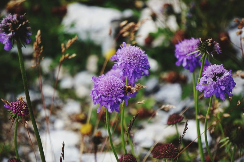 Mountain flower close up EyeEm Selects Flowering Plant Flower Plant Freshness Beauty In Nature Vulnerability  Fragility Growth Purple Close-up Petal Nature Flower Head Focus On Foreground Inflorescence Day No People Botany Field Outdoors