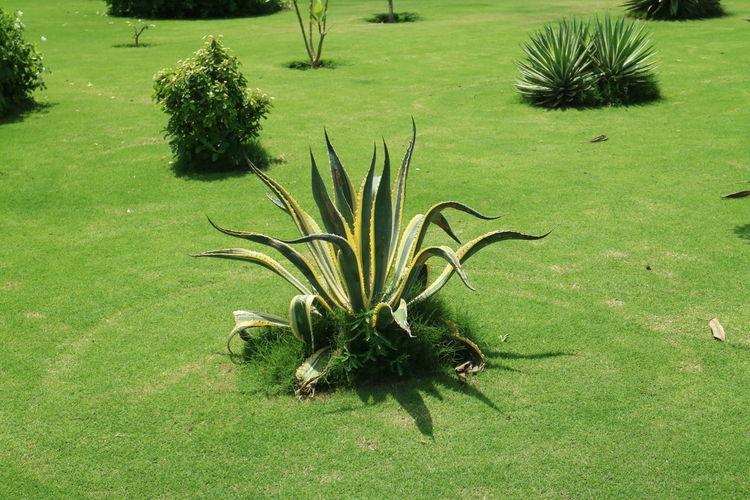 Cactus Oman