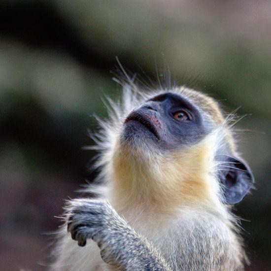 Barbados Wildlife Park Green Monkey Animal Animal Body Part Animal Eye Animal Head  Animal Themes Animal Wildlife Animals In The Wild Close-up Day Focus On Foreground Looking Looking Away Looking Up Mammal Monkey Nature No People One Animal Outdoors Primate Vertebrate Whisker