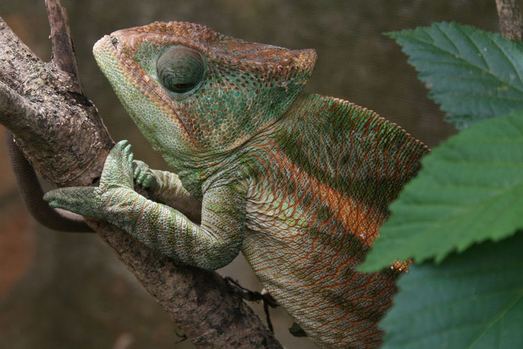 Branch Camouflage Chameleon Chameleon Spirit Closeup Color Change Leaf Madagascar  Rough Wildlife Wildlife & Nature Zoology Paint The Town Yellow