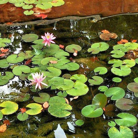 睡蓮 スイレン 花 池 水辺 水面 水 葉 waterlily water flower watersurface