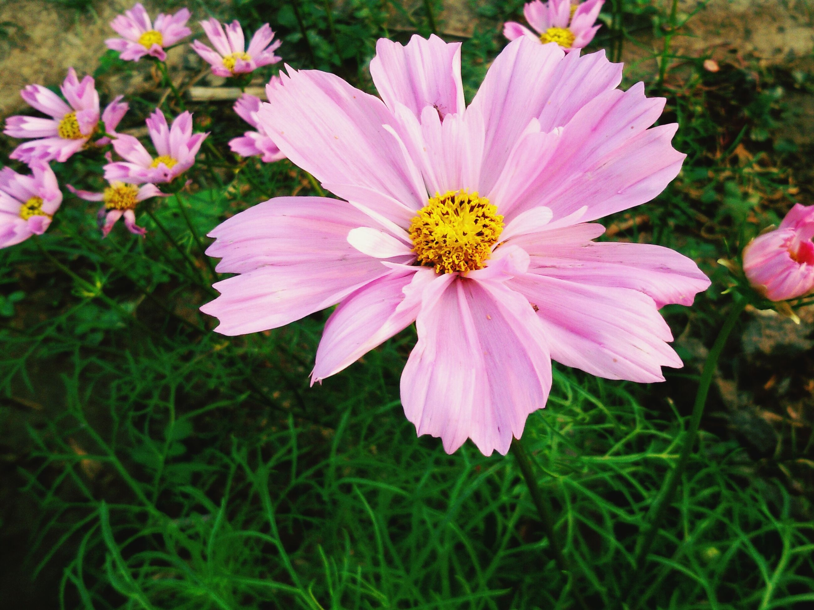 flower, petal, freshness, fragility, flower head, pink color, growth, beauty in nature, blooming, pollen, nature, close-up, plant, focus on foreground, single flower, field, in bloom, pink, outdoors, day