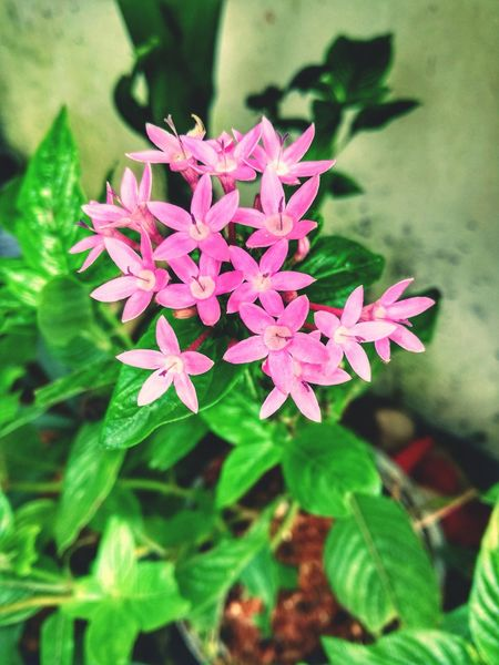 Flower Fragility Nature Beauty In Nature Plant Flower Head Petal Leaf Growth Outdoors Freshness Close-up Blooming Day No People P9LitePhilippines Huaweiphotography