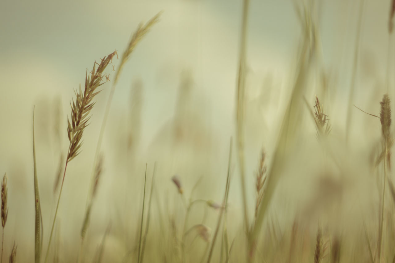 growth, cereal plant, crop, nature, wheat, plant, agriculture, field, ear of wheat, farm, rural scene, tranquility, beauty in nature, day, no people, close-up, grass, tranquil scene, straw, outdoors, rye - grain, freshness