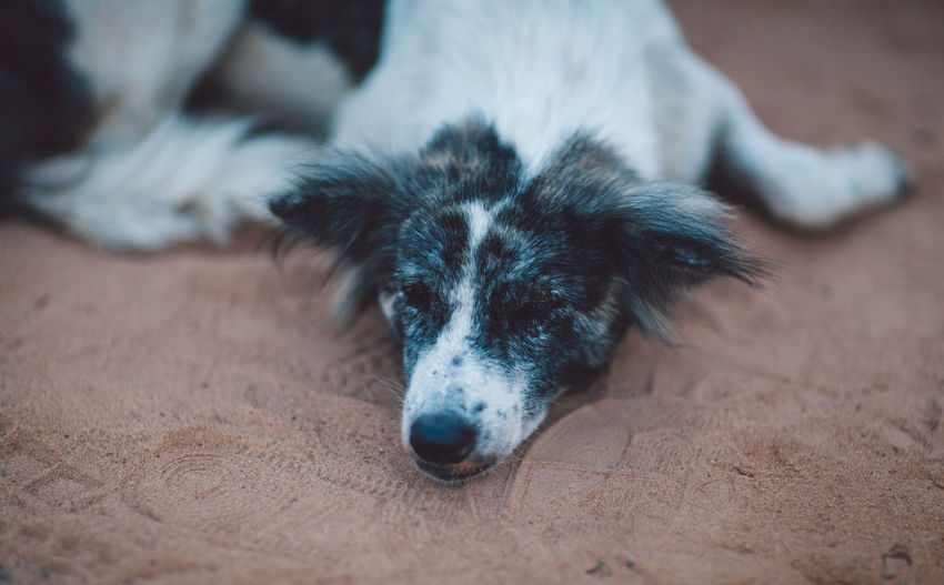 Siem Reap Cambodia One Animal Domestic Pets Domestic Animals Mammal Dog Canine No People Relaxation Lying Down Focus On Foreground Day Portrait Young Animal Selective Focus Animal Body Part Close-up Border Collie