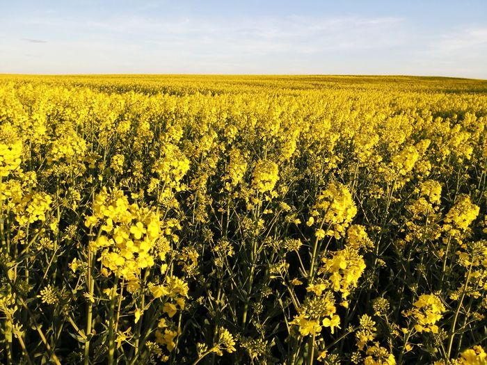 Canola rapeseed field panorama Biodiesel Canola Rapeseed Field Yellow Flower Yellow Color EyeEm Selects Flower Rural Scene Yellow Agriculture Field Backgrounds Crop  Sky Combine Harvester Oilseed Rape Mustard Plant Agricultural Equipment Patchwork Landscape Farm Cultivated Land Cereal Plant Corn - Crop Sunflower