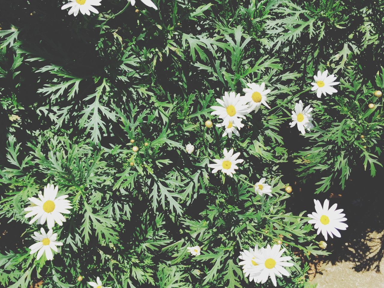 Daisy Plant In Park