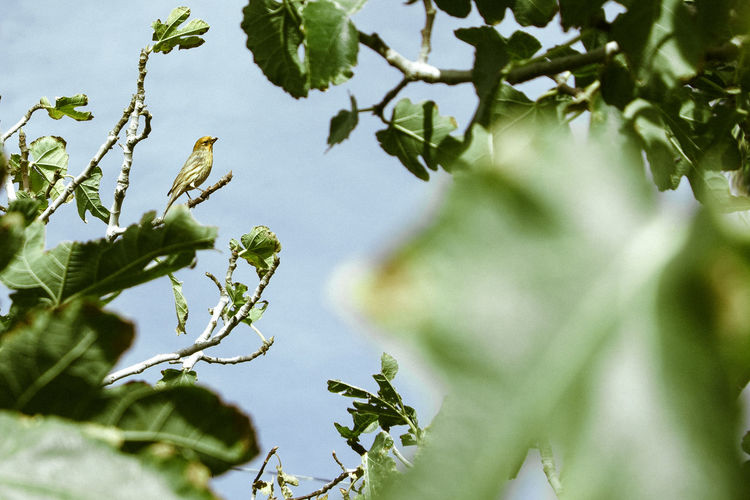 Golden Buddy Beauty In Nature Bird Birdy Branch Crop  Day Golden Golden Ratio Green Color Leaf Low Angle View Nature No People Outdoors Sky Small Bird Tree Yellow