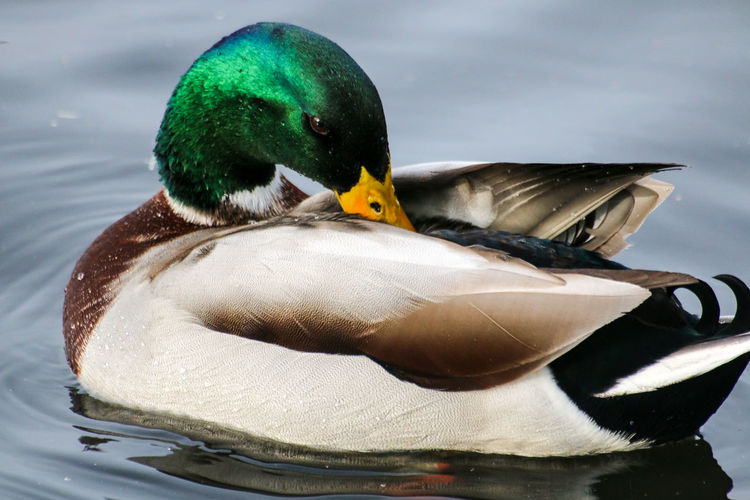 Close-up of mallard duck preening on lake