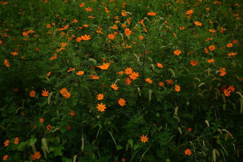 キバナコスモス 黄花秋桜 Orange Flowers 花