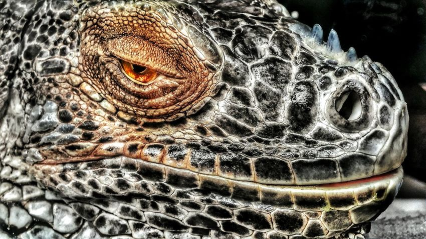 Reptile One Animal No People Animal Themes Are You Talking To Me ? Dinosaur Dinosaurier  Dino Dinosaurio Eye Pets? Are You Looking At Me? Are You Kidding Me? WTF LOL! HUAWEI Photo Award: After Dark