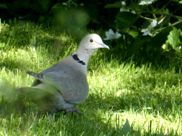 alone is not lonely🤗 Early Bird Gets The Shot For My Friends 😍😘🎁 Nature Is My Sanctuary 🌳💚 Nature Is My Religion Happy Moment♥ Watching Birds 🐦 Cute♡ Beliebte Fotos Zooooom❤ Surrounded By Nature I've Never Seen One Türkentaube Bird Mourning Dove Sunlight Animal Themes Close-up Grass Green Color