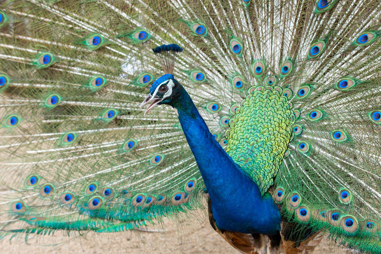 Peacock Animal Animal Themes Bird Peacock Feather Vertebrate Feather  Animal Wildlife Animals In The Wild Fanned Out Blue One Animal Male Animal Multi Colored Beauty No People Showing Animal Body Part Beauty In Nature Close-up Outdoors Animal Head  Peacock Zoo Poultry