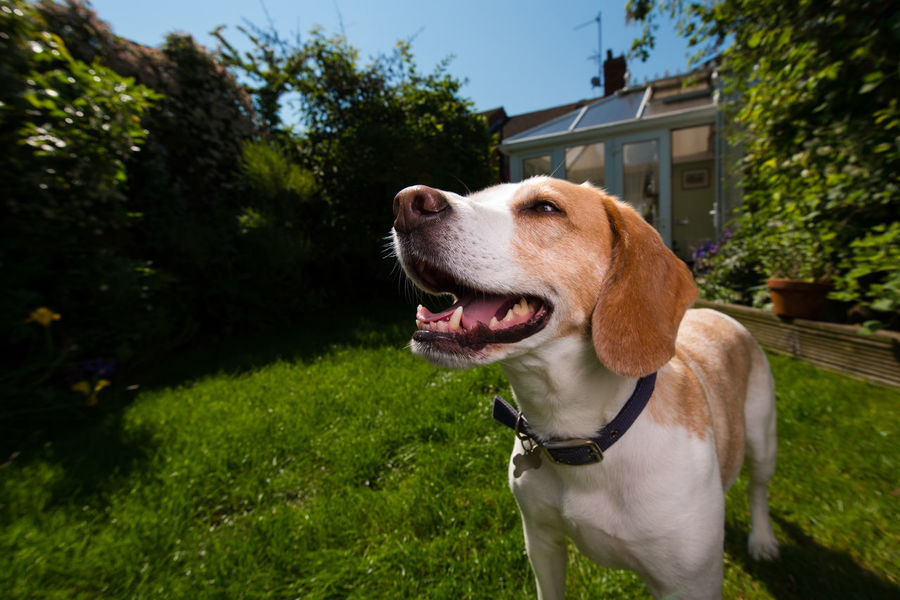 Happy beagle in the sun Animal Head  Beagle Close-up Day Domestic Animals Garden Grass Hound House Mammal Nature No People Outdoors Pet Pets Portrait Sky Summer Sun Sunny