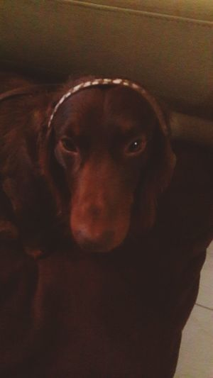 Puppy Love Sausagedog Dog I Love My Dog EyeEm Animal Lover Dachshund Doglover Photeoftheday Goodnight