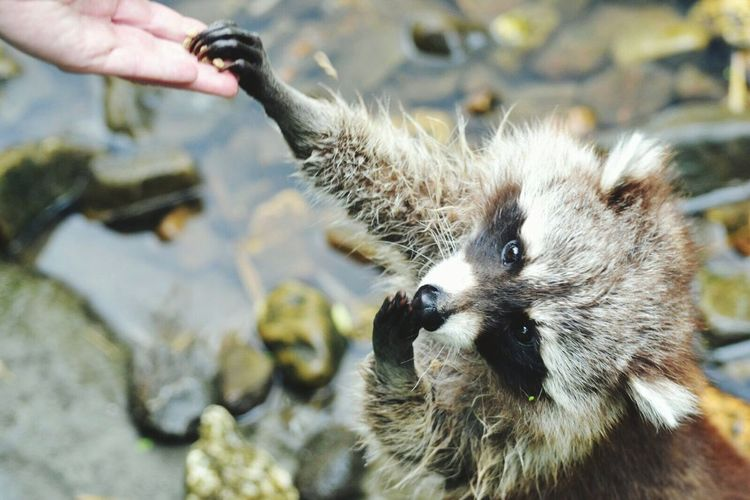 Close-Up Of Raccoon Taking From From Hand