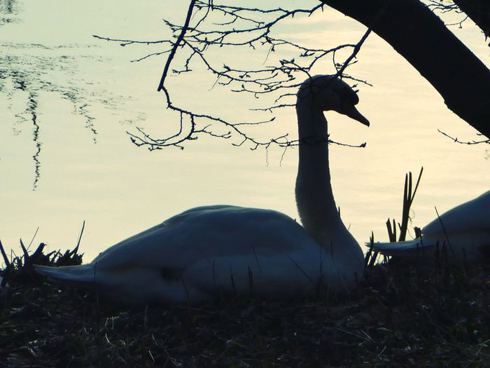 The owner of the feathers.... Swan Nest Building Sitting Waiting Bird Animal Wildlife Animals In The Wild Animal Themes Tree Outdoors Sky Sunlight Eyem Nature Lover Beauty In Nature White Feather Setting Sun Silhouette Winter Lake Island