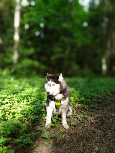 хаски Husky