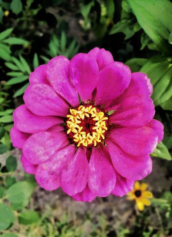 Flower Head Zinnia  Flower Pink Color Petal Close-up Plant Cosmos Flower Stamen Sepal Pistil Day Lily Apple Blossom Rhododendron Single Flower Pollen Blooming Blossom Passion Flower Lily Wild Rose In Bloom Hibiscus Osteospermum Crocus Gazania