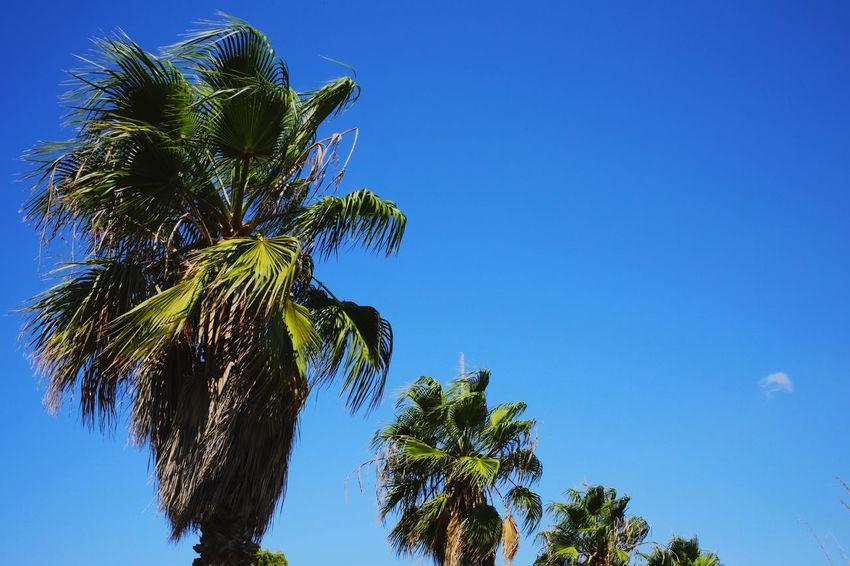 Palm Tree Palm Trees Plant Tree Sky Growth Low Angle View Blue Clear Sky