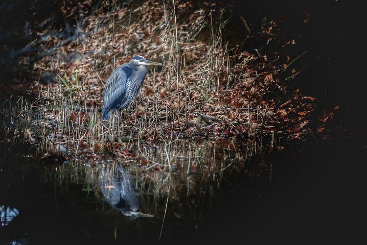 High angle view of gray heron perching on a lake