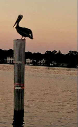Pelican Sitting On Pole Bird Birds Of EyeEm  Bird Photography Sunset Sunset Silhouettes Light And Shadows Bird Roosting Outdoor Photography Animal Photography Animals In Nature Nature Photography Bird Collection Nature_collection Destin,Florida, USA