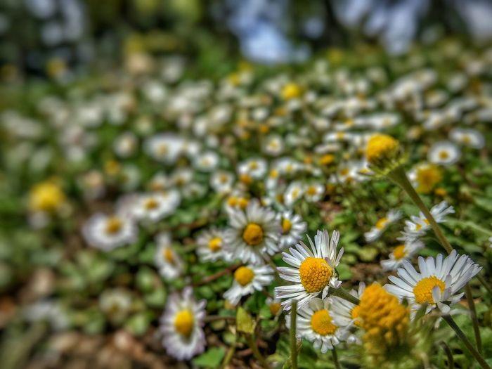 Papatyalar... Gardening Walking Around Picking Flowers  Enjoying The Sun
