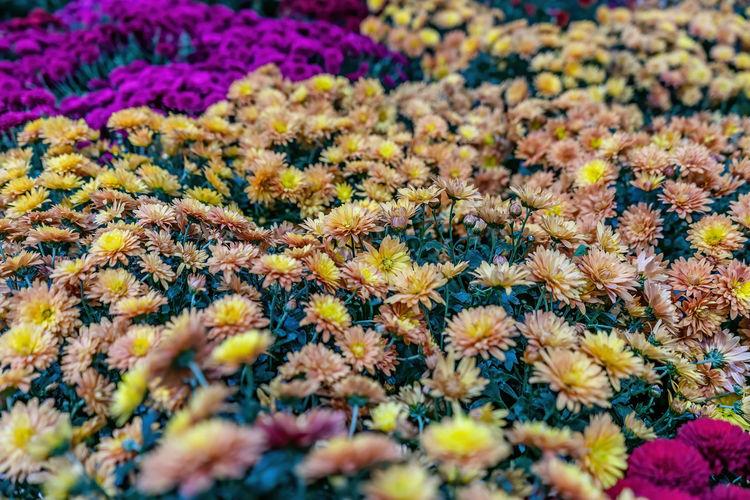 Full frame shot of yellow flowering plants