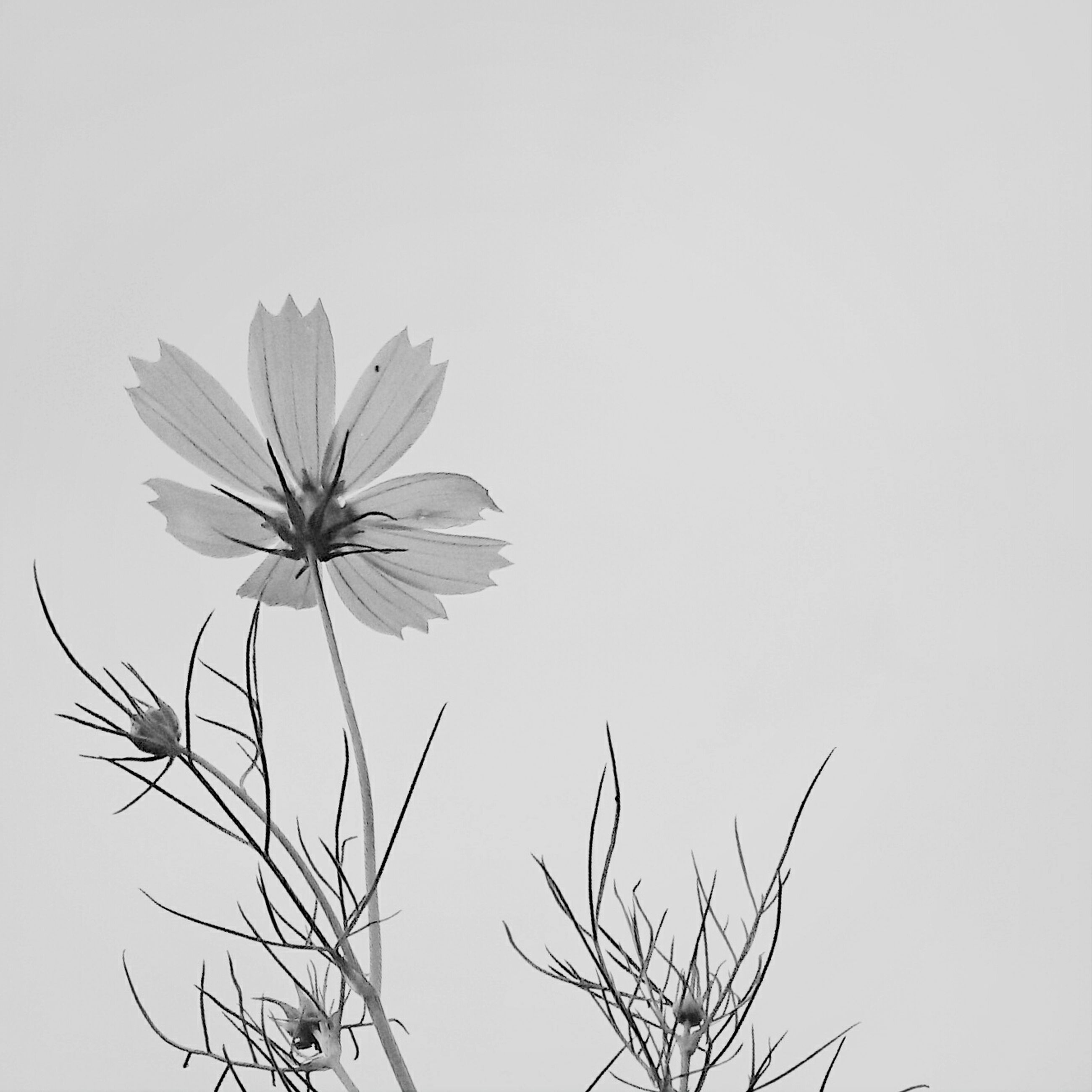 clear sky, low angle view, flower, copy space, growth, fragility, nature, beauty in nature, branch, freshness, stem, close-up, white background, studio shot, plant, no people, petal, outdoors, day, twig